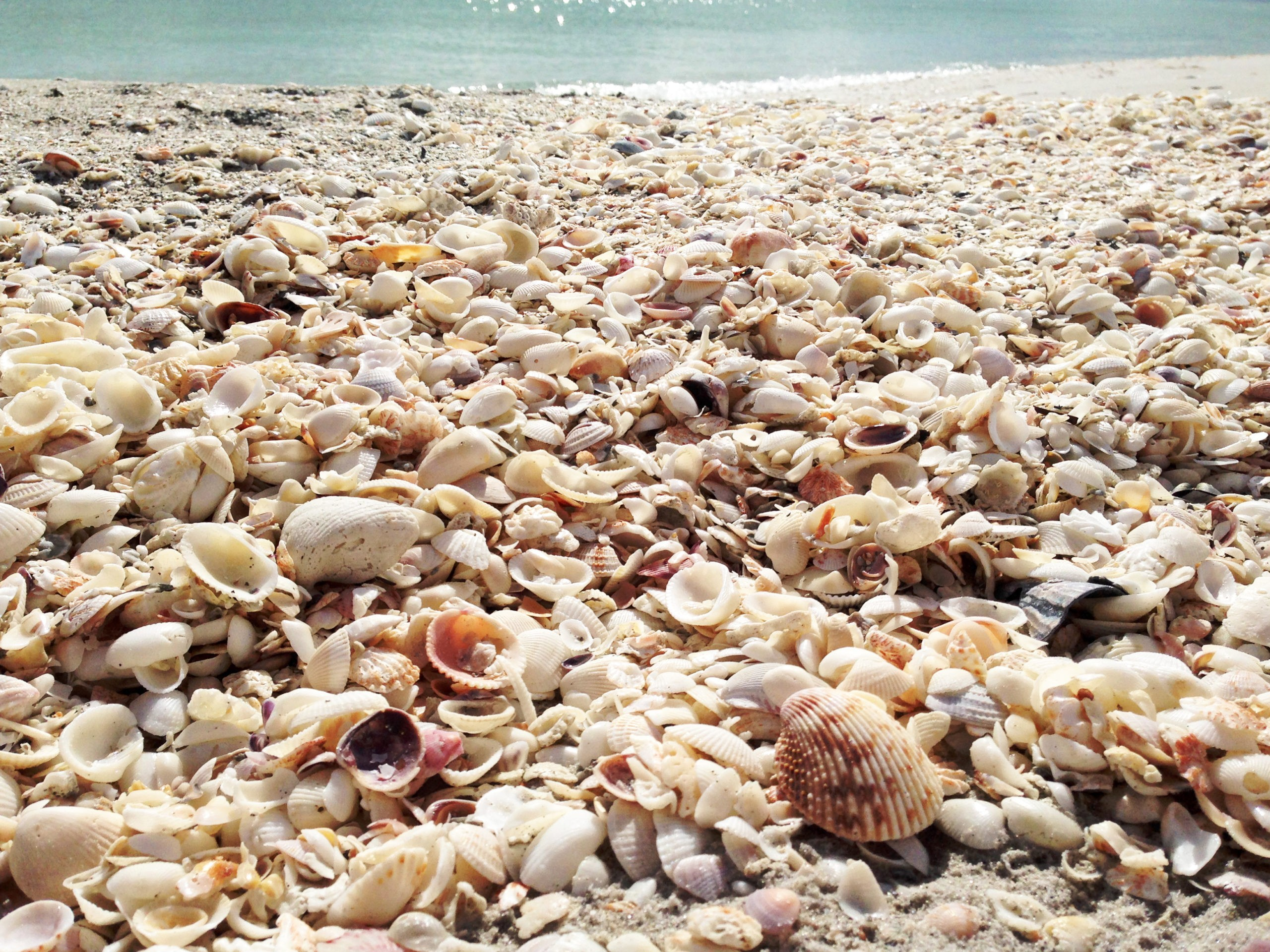 Muszle, plaża na wyspie Sanibel, FL, licencja: shutterstock/By BrklnGirl