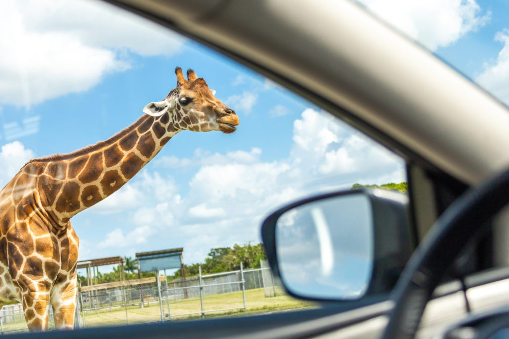 Florida, USA - September 19, 2019: Lion Country Safari drive through park in West Palm Beach Florida. Cars driving near giraffes in cage free animal zoo