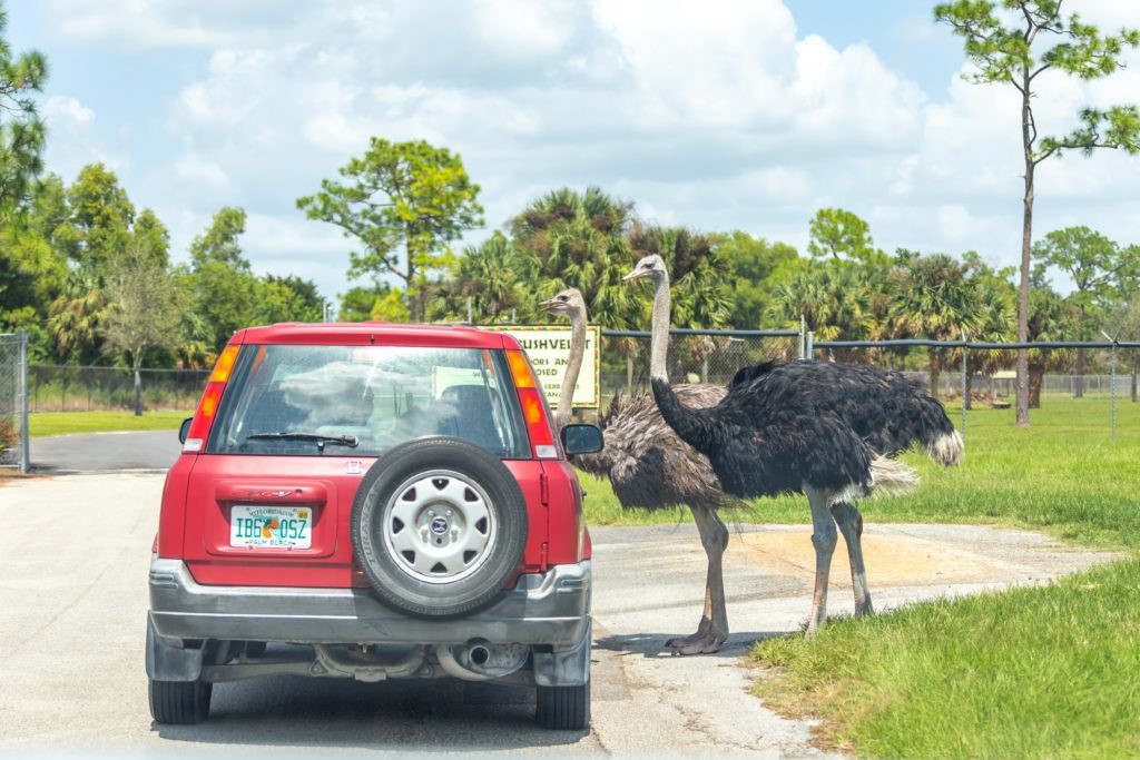 Florida, USA - September 19, 2019: Lion Country Safari drive through park in West Palm Beach Florida. Cars driving near animals in cage free animal zoo