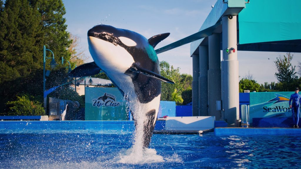 ORLANDO, USA - MARCH 30: Killer whales in the most popular