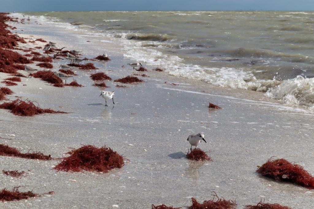Shorebirds and red seaweed on Tarpon Beach, Sanibel Island, Florida