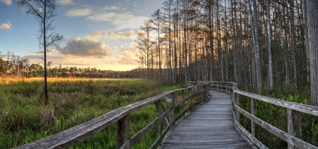 Sunset golden sky over the bare trees and boardwalk at Corkscrew Sanctuary Swamp in Naples, Florida
