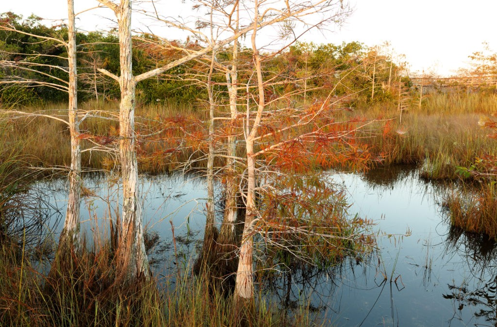 Swamp at Sunrise at Pahayokee Trail, Everglades National Park, Florida USA. Pa-Hay-Okee Overlook Trail is a 0.2 mile trail located near Homestead, Florida that offers the chance to see wildlife.