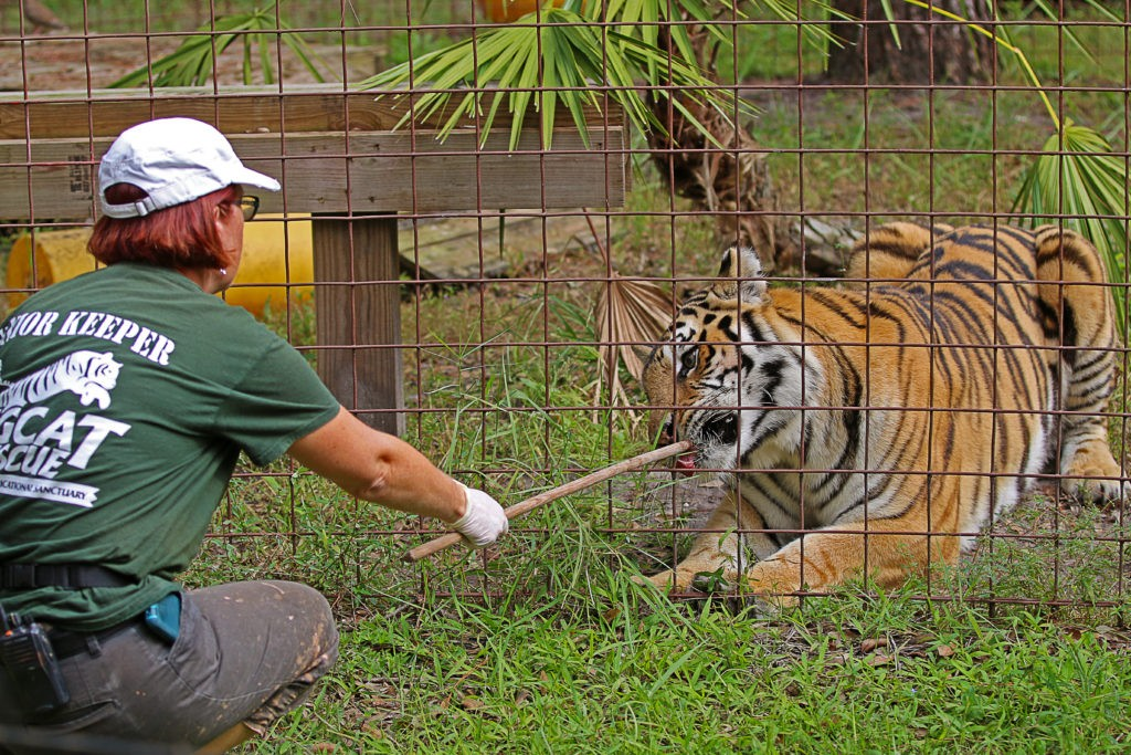TAMPA, FLORIDA/USA - OCTOBER 28, 2017: A Senior Keeper at Big Cat Rescue feeding a tiger using a stick. Big Cat Rescue is an animal sanctuary devoted to rescuing and housing exotic felines.