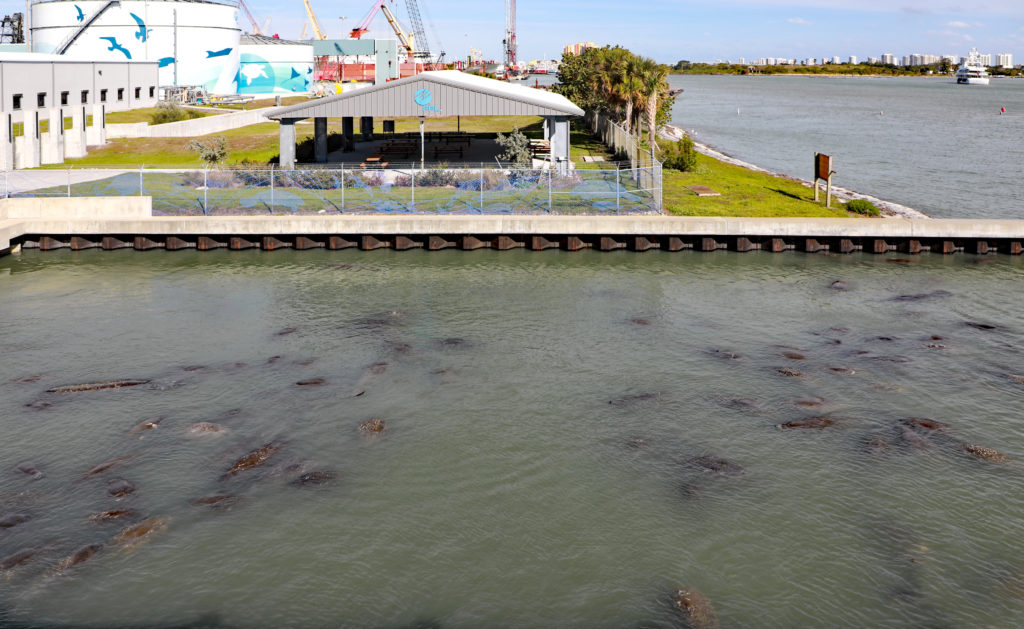 WEST PALM BEACH, FLORIDA/USA - JANUARY 6, 2018:  Manatees in a large group enjoy the warm water coming from Florida Power & Light's power plant, next to their Manatee Center, open to the public.