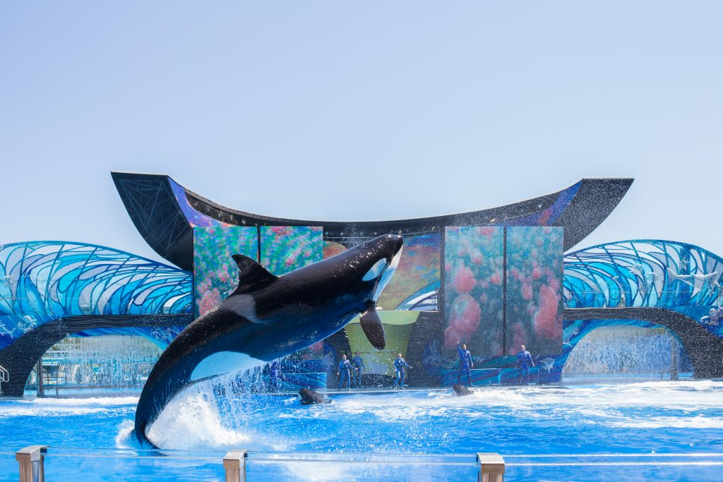 ORLANDO, USA - March 30, 2015: Killer Whales perform during the Shamu Show at Sea World Orlando - one of the most visited amusement park in the United States on March 30, 2015 in Orlando, Florida, USA