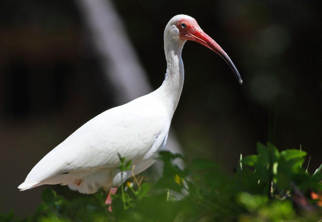 White ibis (Eudocimus albus) in Crandon Park, Key Biscayne, Florida